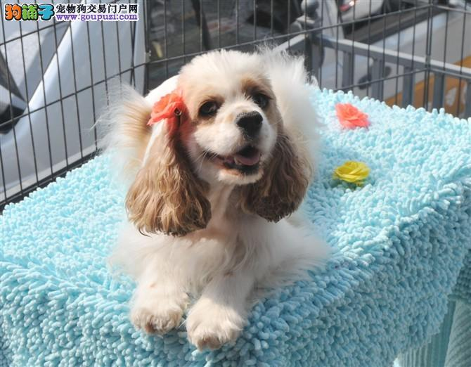 精品可卡幼犬一对一视频服务买着放心送用品送狗粮