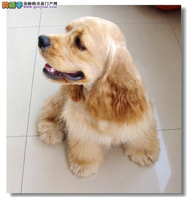 哪里出售可卡犬 可卡犬大概多少钱一只