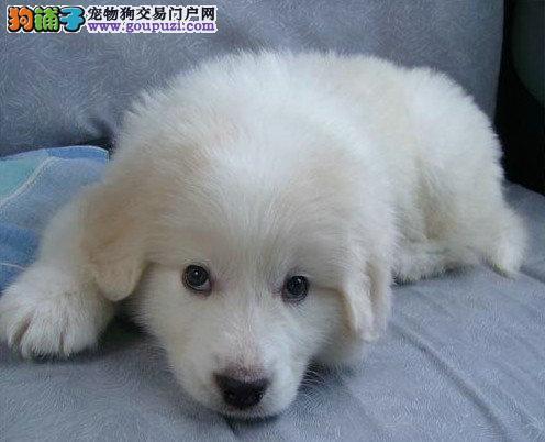 请问南京什么地方有卖大白熊幼犬 大白熊好养吗