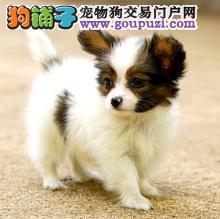 蝴蝶犬纯种健康保证品质