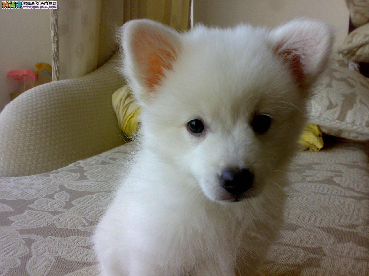 狗狗 宁波/真实拍摄的家中小银狐幼犬是很小的狐狸狗[三个月公母全有]