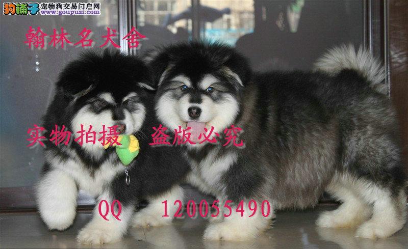哪里有卖纯种阿拉斯加犬的 泰山直系顶级血统