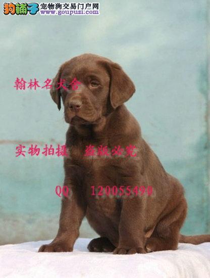 哪里有卖纯种拉布拉多犬的 大头拉拉健康保障