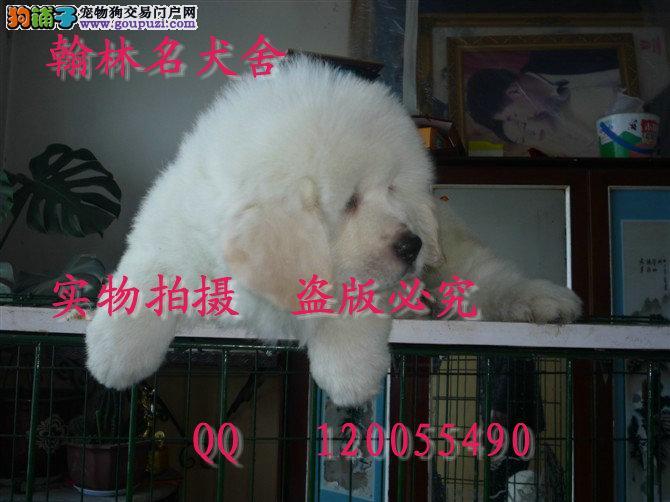 哪里有卖纯种大白熊犬 成年体重可以张180的极品