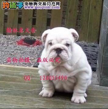 哪里有卖纯种斗牛犬的 现在有纯白顶级幼犬可预定
