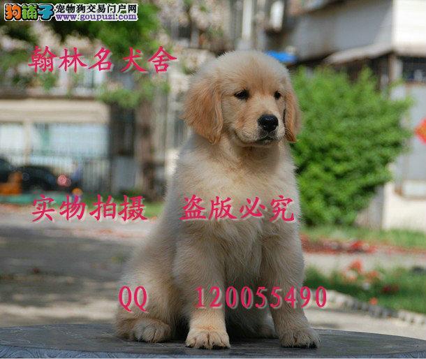 哪里有卖纯种金毛犬的 枫叶后代顶级宝宝可预定