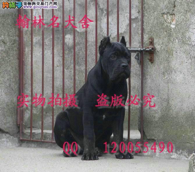 哪里有卖纯种卡斯罗 力耳做好的顶级幼犬
