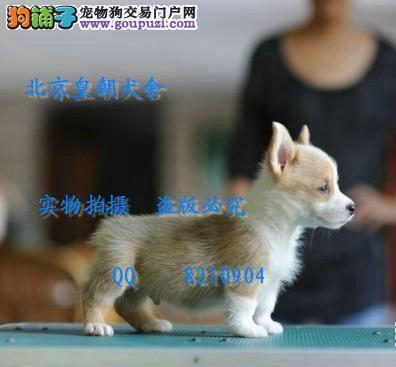 北京哪里有卖纯种柯基犬的 通背通环有血统健康保障