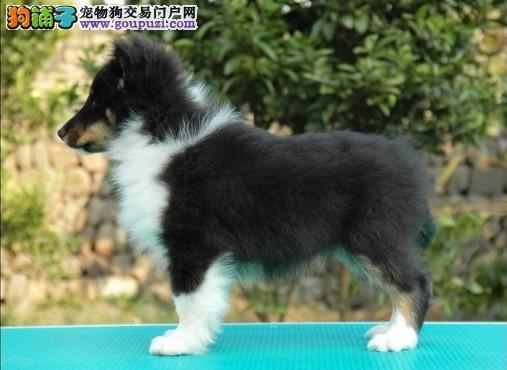 非常适合家庭饲养的小型犬 非常聪明的哦