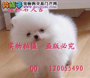 哪里有卖纯种博美犬的 纯小体哈多里幼犬多只出售