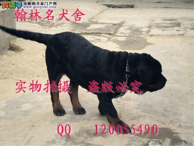 哪里有卖纯种罗威那犬的 顶级大头德系陕版都有