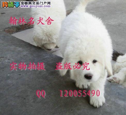哪里有卖纯种大白熊的 成年150斤以上 绝对极品