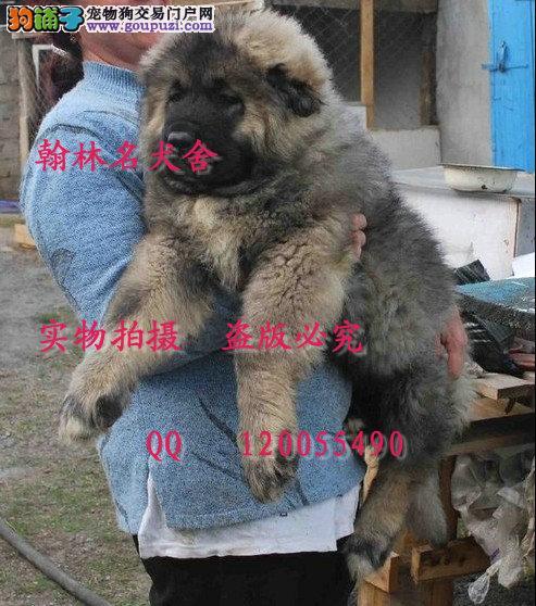 哪里有卖纯种高加索犬的 熊版高加索雄霸后代