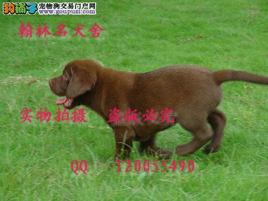 哪里有卖拉布拉多犬 有缉毒犬血统的顶级拉拉幼犬