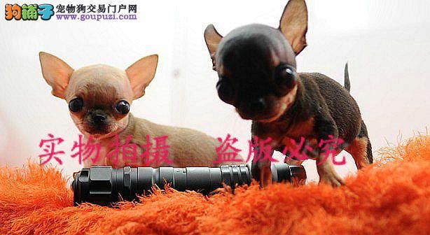 苹果头小嘴 纯小体的娃娃幼犬各种颜色 欢迎预定