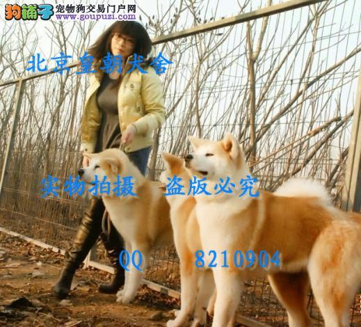 哪里有卖纯种秋田犬的 顶级幼犬父母都是登录冠军