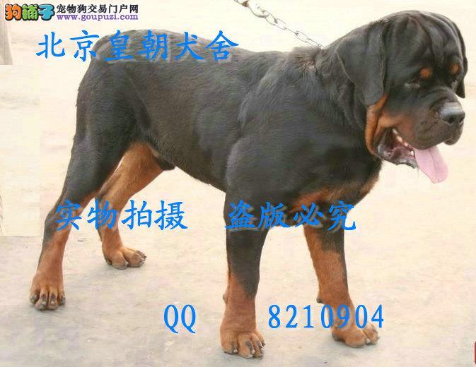 哪里有卖纯种罗威那犬的 顶级防暴犬的后代买的放心