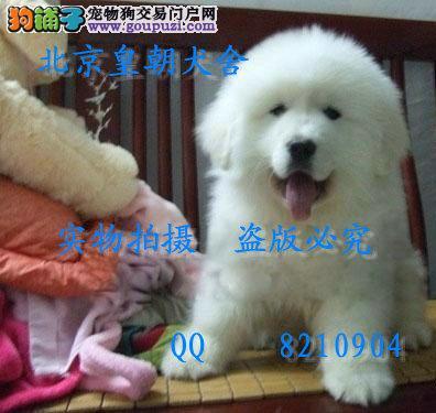 哪里有卖纯种大白熊犬的 最忠诚的守卫犬