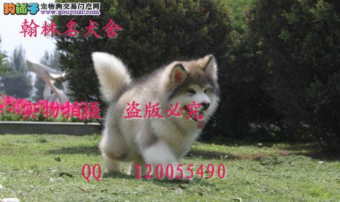 那里有卖阿拉的 纯种 健康 泰山直系顶级幼犬