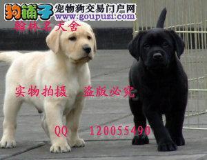 有缉毒犬血统的顶级拉拉幼犬多只 可以预定