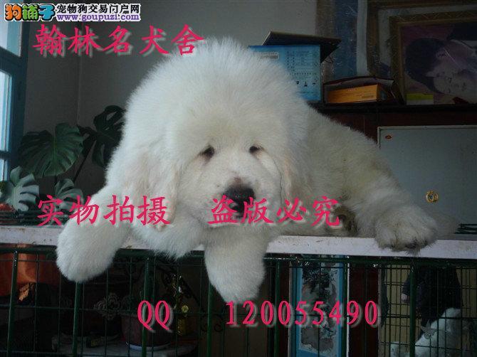 那里有卖大白熊的 成年体重50以上绝对顶级