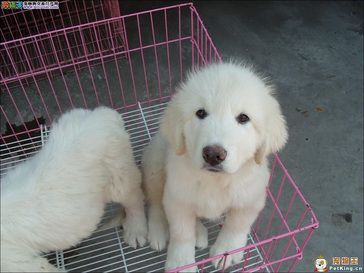 石家庄/巨型大白熊幼犬大白熊养殖场大白熊价格大白熊图片[三个月公母...