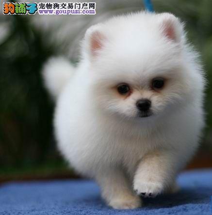 武汉CKU认证犬舍出售高品质银狐犬冠军级血统品质保障