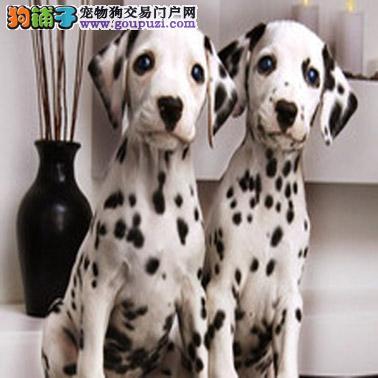 重庆哪有卖斑点犬 斑点犬长多大 大麦町多少钱 好养吗