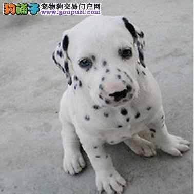 出售正宗血统优秀的斑点狗保证冠军级血统