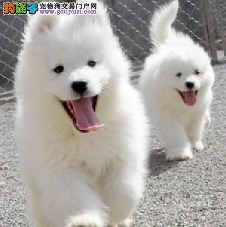 出售萨摩耶幼犬,CKU认证犬舍,三年质保协议
