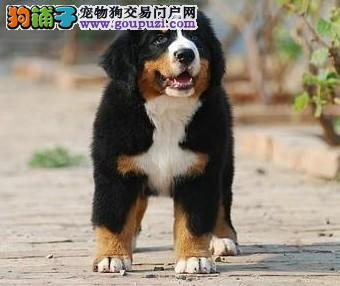 名犬专卖高品质伯恩山幼犬、包纯包健康、疫苗做齐