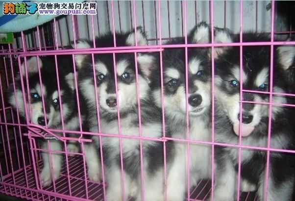兴义阿拉斯加犬出售 兴义哪里买卖阿拉斯加小狗的地方