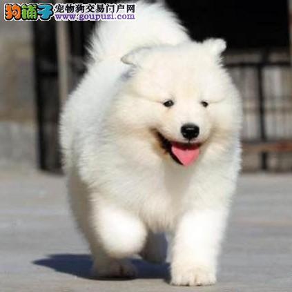 兴义纯种萨摩耶犬出售 兴义哪里买卖萨摩耶小狗的地方