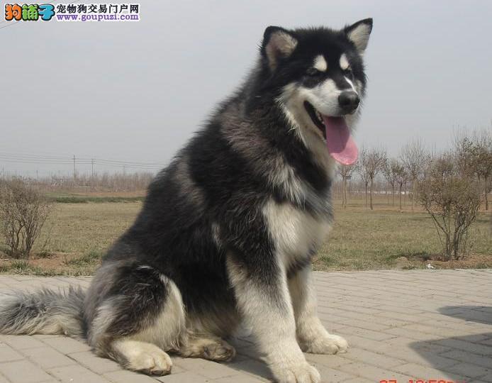 福建<em>阿拉斯加雪橇犬价格</em>多少钱|福建阿拉斯加