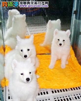 汉中养殖场直销完美品相的银狐犬品相一流疫苗齐全