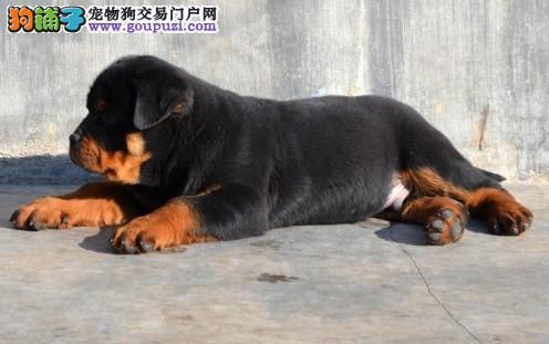 特价宠物犬出售 100%健康 纯种罗威纳 幼犬 可上门