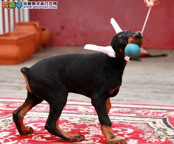 家养极品杜宾犬出售 可见父母颜色齐全微信咨询欢迎选购