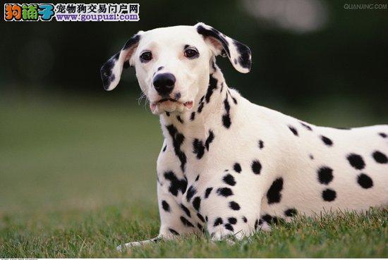 超级精品斑点狗 纯种健康品相优良 三包终生协议