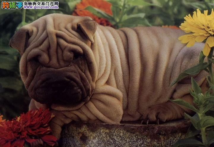 五星级纯种沙皮幼犬出售CKU认证