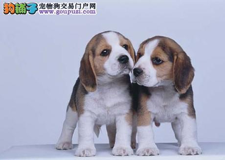 南京比格犬哪里有卖的 南京比格犬价格多少钱