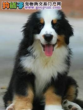 聪明、结实的狗狗  伯恩山
