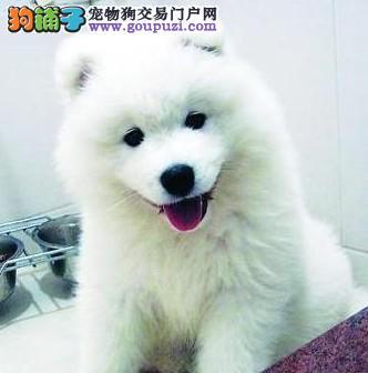 极品银狐犬出售 CKU认证血统纯正 签订活体协议