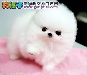 犬舍直销博美 北京博美犬舍 哈多利博美 英系超小体