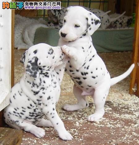 大型专业培育斑点狗幼犬包健康微信视频看狗