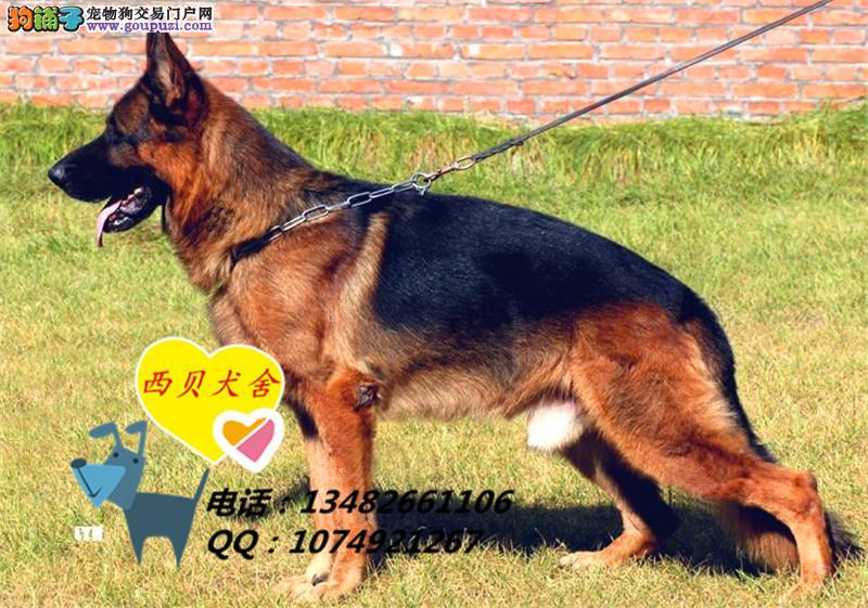 国内品牌犬舍 赛级德牧东德,实图,保证纯种健康