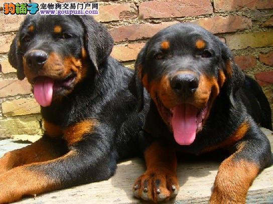 赛级罗威纳品相一流,CKU认证犬舍,血统纯种健康