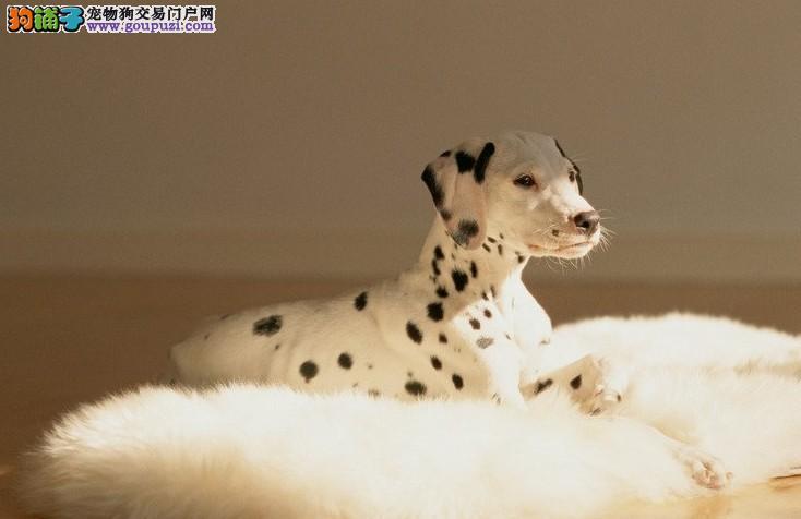极品、聪明的斑点狗在这里、优惠纯种和健康、CKU认证