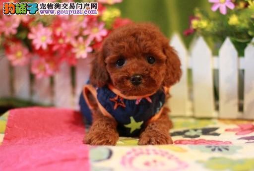 纯种韩系泰迪熊 茶杯、玩具 可爱至极 购买可签订协议