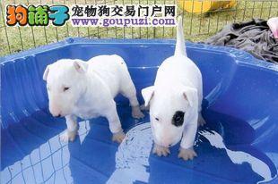 上海出售纯种海盗眼牛头梗 上海牛头梗买卖