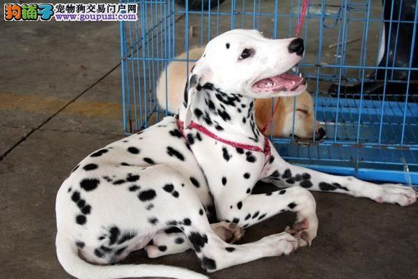 赛级斑点犬 品质保证 疫苗、血统、全部证书齐全